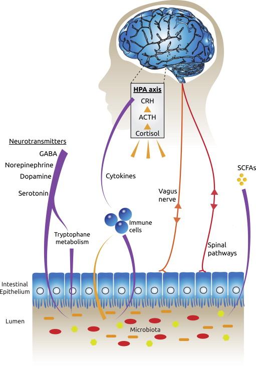 probiotika depression angst diagram